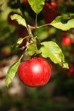 Una mela rossa Fotografia Stock