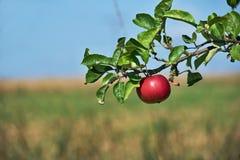 Una mela rossa su un ramo con un fondo vago Immagini Stock Libere da Diritti