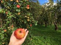 Una mela in sua mano Immagini Stock