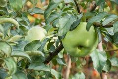 Una mela verde con le gocce di pioggia Fotografia Stock Libera da Diritti