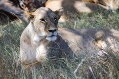 Una mentira de la leona Foto de archivo libre de regalías