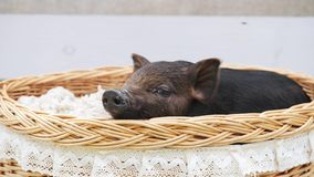 Una mentira linda del cerdo en la cesta almacen de video