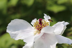 Una miel de la abeja en la peonía blanca Fotos de archivo libres de regalías