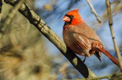 Una mirada cardinal septentrional masculina encendido Foto de archivo