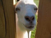 Una mirada de la cabra sobre una cerca Imagen de archivo libre de regalías