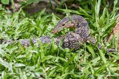 Una mirada del lagarto Imagen de archivo