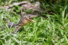 Una mirada del lagarto Imagenes de archivo