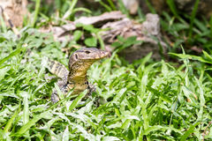 Una mirada del lagarto Imagen de archivo libre de regalías