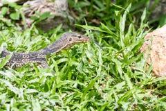 Una mirada del lagarto Foto de archivo libre de regalías