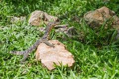 Una mirada del lagarto Foto de archivo