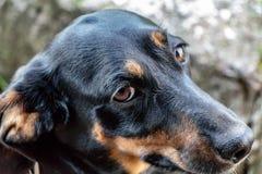 Una mirada del ` s del perro en el anfitrión con una pregunta foto de archivo libre de regalías