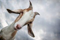 Una mirada linda de la cabra Fotos de archivo libres de regalías