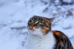 Una mirada que aboga por del gato nacional Déme un poco de comida por favor Un gato nacional que se sienta antes de mí y pedirme  fotos de archivo