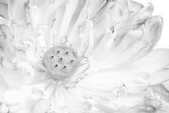 Una mitad de la flor de loto abierta Foto de archivo