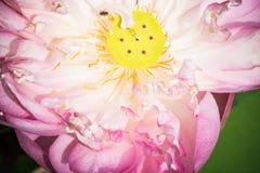 Una mitad de la flor de loto abierta Foto de archivo libre de regalías