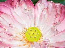 Una mitad de la flor de loto abierta Imagen de archivo libre de regalías