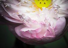 Una mitad de la flor de loto abierta Imágenes de archivo libres de regalías