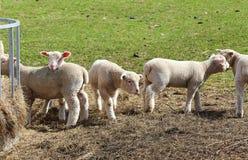 Una moltitudine di agnelli svegli della primavera Fotografia Stock