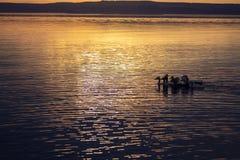 Una moltitudine di anatroccoli al tramonto immagini stock libere da diritti