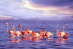 Una moltitudine di bei fenicotteri rosa contro un tramonto porpora Immagine tropicale marina artistica fotografie stock libere da diritti
