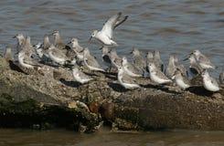 Una moltitudine di Calidris di Sanderling alba, di alpina del Calidris del Dunlin e di canutus del Calidris del nodo si è appolla Fotografia Stock Libera da Diritti
