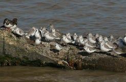 Una moltitudine di Calidris di Sanderling alba, di alpina del Calidris del Dunlin, di interpres dell'arenaria del Turnstone e di  Fotografia Stock Libera da Diritti
