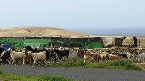 Una moltitudine di capre nel villaggio Tefia su Fuerteventura Immagini Stock Libere da Diritti