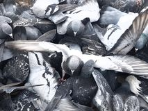 Una moltitudine di colombe blu, ali si è sparsa largamente fotografia stock