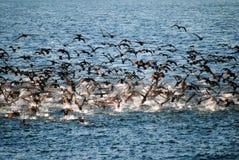 Una moltitudine di cormorani che prendono volo su acqua Fotografia Stock