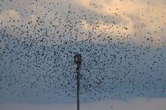Una moltitudine di corvi Immagini Stock