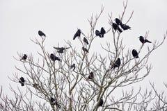 Una moltitudine di corvi che si siedono su un albero nell'inverno Immagine Stock