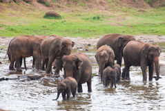 Una moltitudine di elefanti Immagini Stock Libere da Diritti