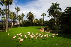 Una moltitudine di fenicotteri rosa sta camminando al posto di innaffiatura nello zoo in Tenerife, Spagna Fotografia Stock Libera da Diritti