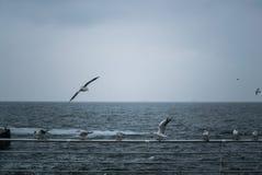 Una moltitudine di gabbiani sul Mar Nero Odessa Colpo del primo piano Fotografia Stock