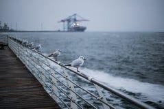 Una moltitudine di gabbiani sul Mar Nero Odessa Colpo del primo piano Fotografie Stock