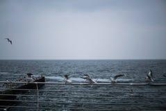 Una moltitudine di gabbiani sul Mar Nero Odessa Colpo del primo piano Immagine Stock