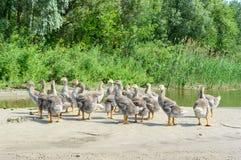 Una moltitudine di giovani oche grige sulla banca dello stagno un giorno soleggiato Fotografia Stock