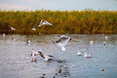 Una moltitudine di grandi gabbiani bianchi in autunno parcheggia sta pescando nel lago Immagini Stock Libere da Diritti