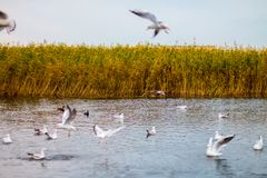 Una moltitudine di grandi gabbiani bianchi in autunno parcheggia sta pescando nel lago Immagini Stock