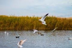 Una moltitudine di grandi gabbiani bianchi in autunno parcheggia sta pescando nel lago Immagine Stock