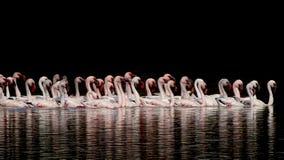 Una moltitudine di ` di Lesser Flamingos del ` fotografia stock