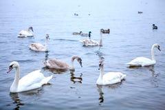 Una moltitudine di nuotate dei cigni sul fiume immagine stock