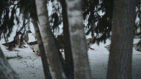 Una moltitudine di oche domestiche che camminano all'aperto nella neve alla ricerca dell'erba e dell'alimento Bella fine sul docu video d archivio