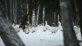 Una moltitudine di oche domestiche che camminano all'aperto nella neve alla ricerca dell'erba e dell'alimento Bella fine sul docu archivi video