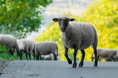Una moltitudine di pascolo delle pecore sulla strada Immagine Stock Libera da Diritti