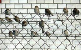 Una moltitudine di passeri Immagini Stock