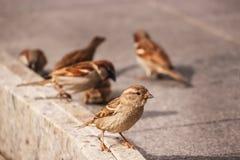 Una moltitudine di passeri che beccano le briciole di pane Fotografia Stock