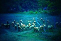 Una moltitudine di pecore immagine stock libera da diritti