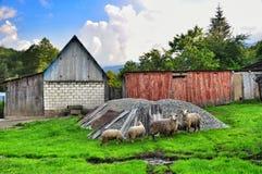 Una moltitudine di pecore Fotografie Stock