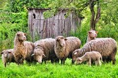 Una moltitudine di pecore fotografia stock